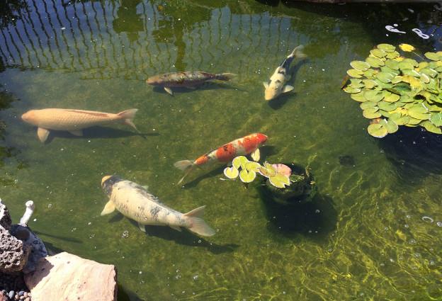 Orange County Koi Pond