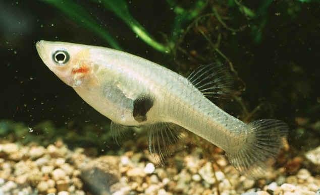 mosquitofish-R
